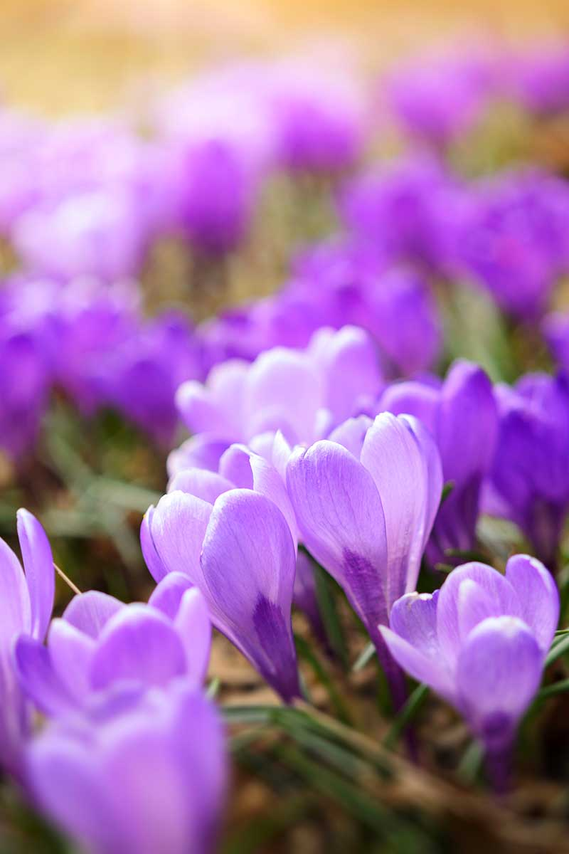 A vertical close up picture of purple crocus blooms in light sunshine fading to an artistic soft focus in the background.