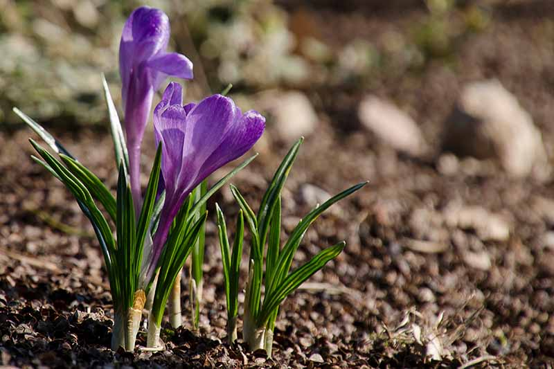 A close up of a purple flower with light green foliage on a soil background fading to soft focus in light sunshine.