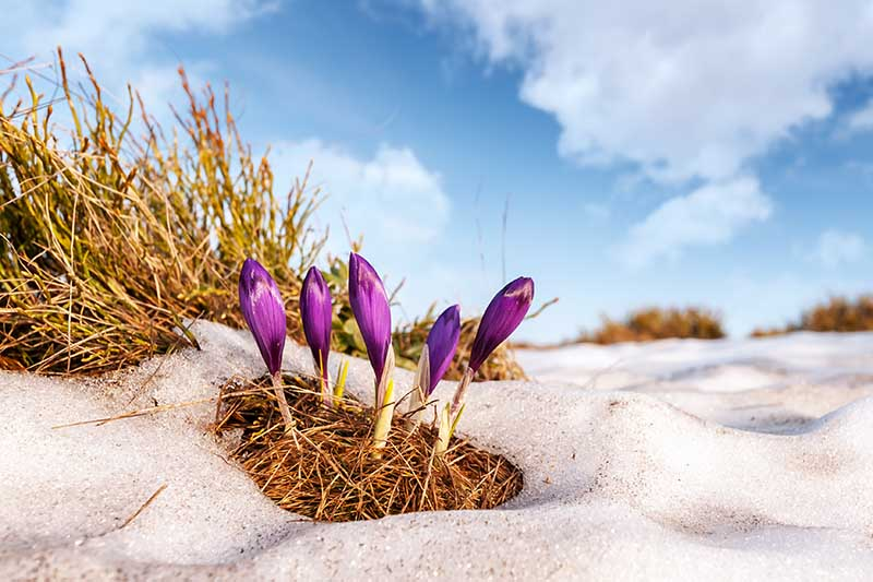 A close up of purple crocus buds pushing through the snow amongst brown grass with blue sky and clouds in the background.