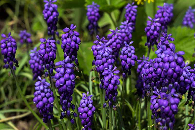 A close up of dark purple grape hyacinth flowers growing in the bright sunshine amongst green foliage fading to soft focus in the background.