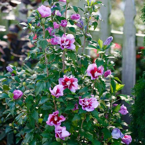 A close up of the flowers of the H. syriacus variety 'Purple Pillar' growing on the shrub. Purple and red blooms are framed by the dark green foliage, in the background is a wooden fence in soft focus.