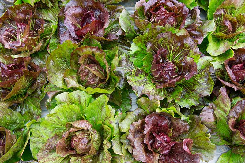 A close up top down picture of red butterhead lettuce with soft leaves in light green and reddish tones.
