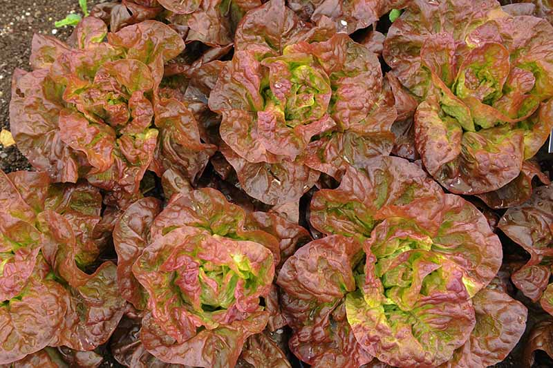 A close up top down picture of red butterhead lettuce growing in tight rows in the garden.