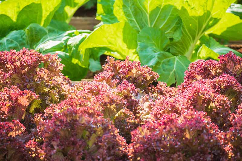 A close up of bright red Lollo Rosso lettuce with frilly leaves pictured in bright sunshine, with a green variety in soft focus in the background.