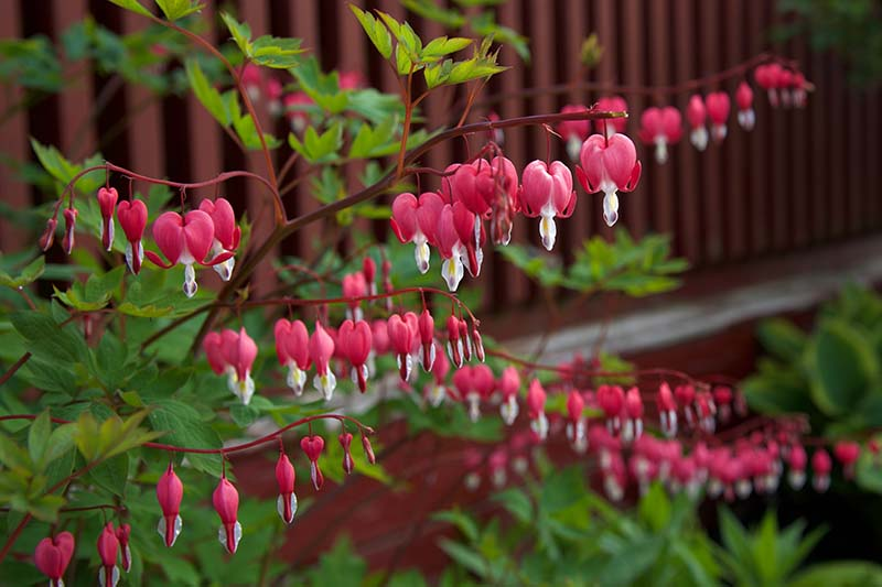 A garden scene with a large L. spectabilis plant in the foreground, the 'Valentine' variety is in bloom with its characteristic red and white flowers. In the background is a burgundy fence in soft focus.