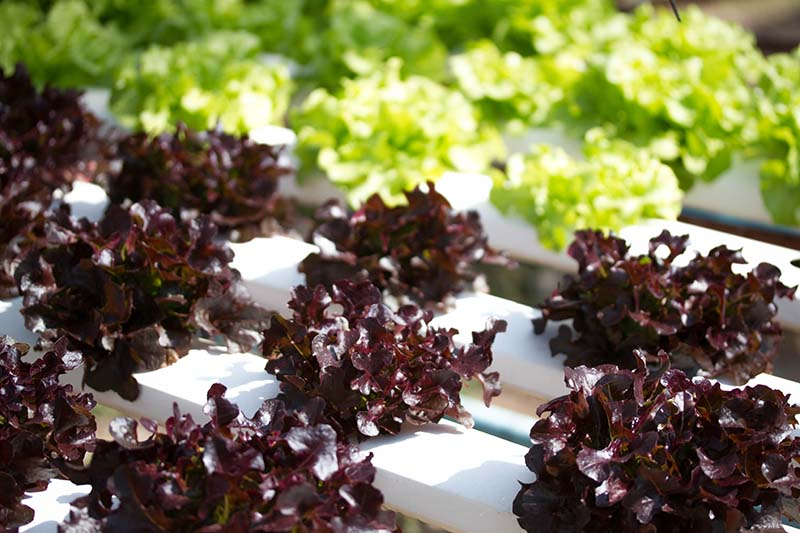 A collection of red and green lettuce growing in white plastic hydroponic rows, fading to soft focus in the background.
