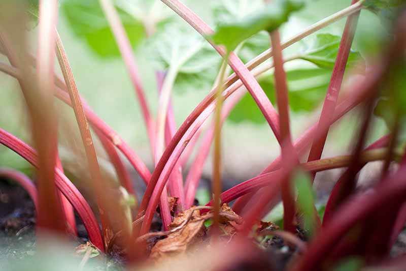 A close up of the light red stalks of the rhubarb plant, surrounded by light green foliage in soft focus in the background.