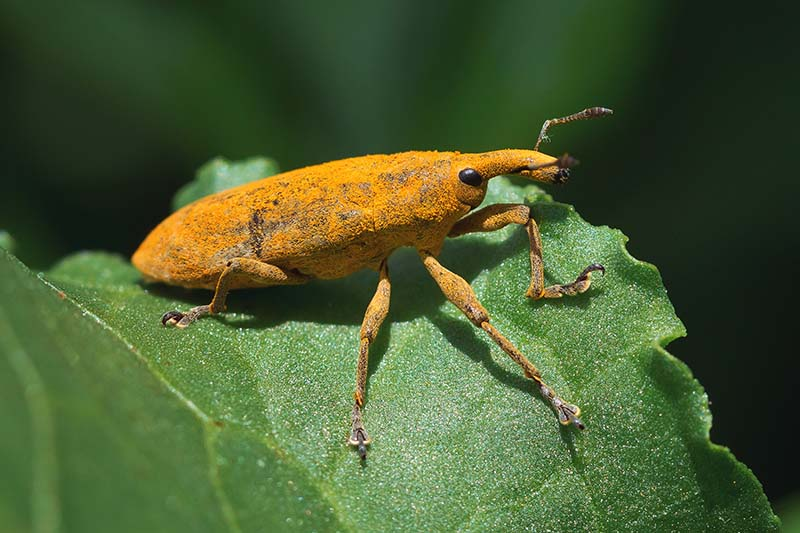 A close up of an odd looking insect, with an orange fuzzy appearance, and a long nose, set on a bright green leaf on a dark soft focus background.