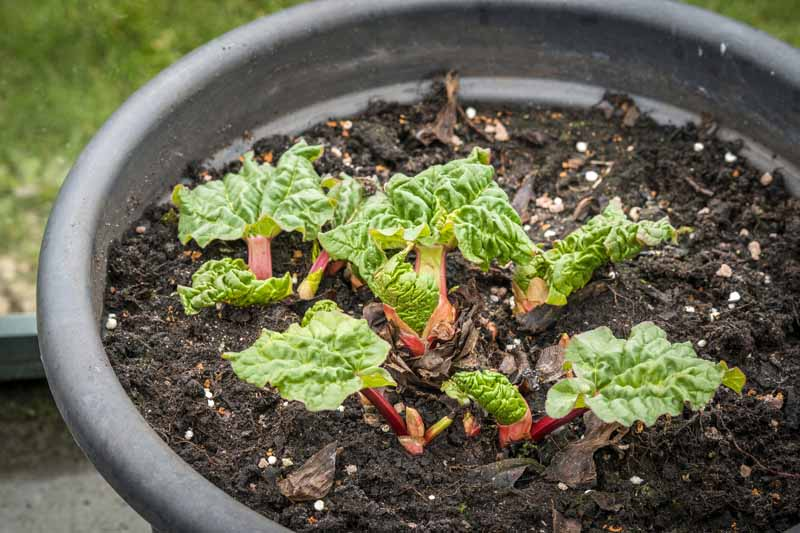 A close up of small rhubarb seedlings growing in a black plastic or rubber pot, in dark moist earth, with grass in soft focus in the background.