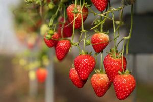 35 of the Best Strawberry Varieties for Home Gardeners