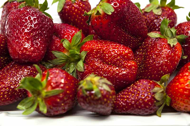 A close up of deep red, ripe strawberries on a white background.