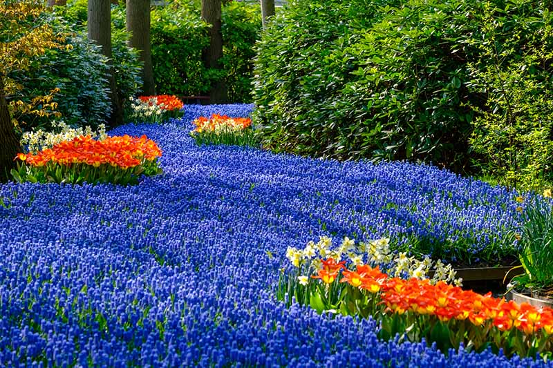 A river of blue grape hyacinth plants, surrounded by red and yellow spring flowers and large shrubs, in a woodland in the Netherlands in bright sunshine.