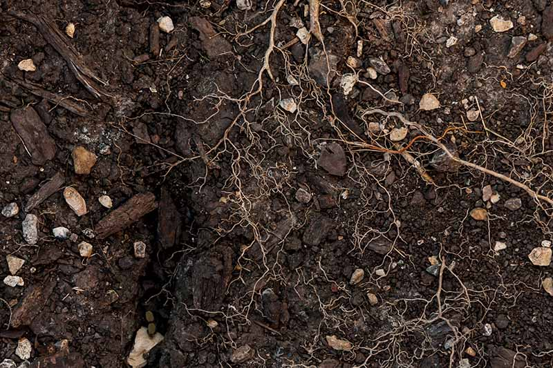 A close up of dark, rich earth with stones and roots in it that need to be cleared before planting vegetables.