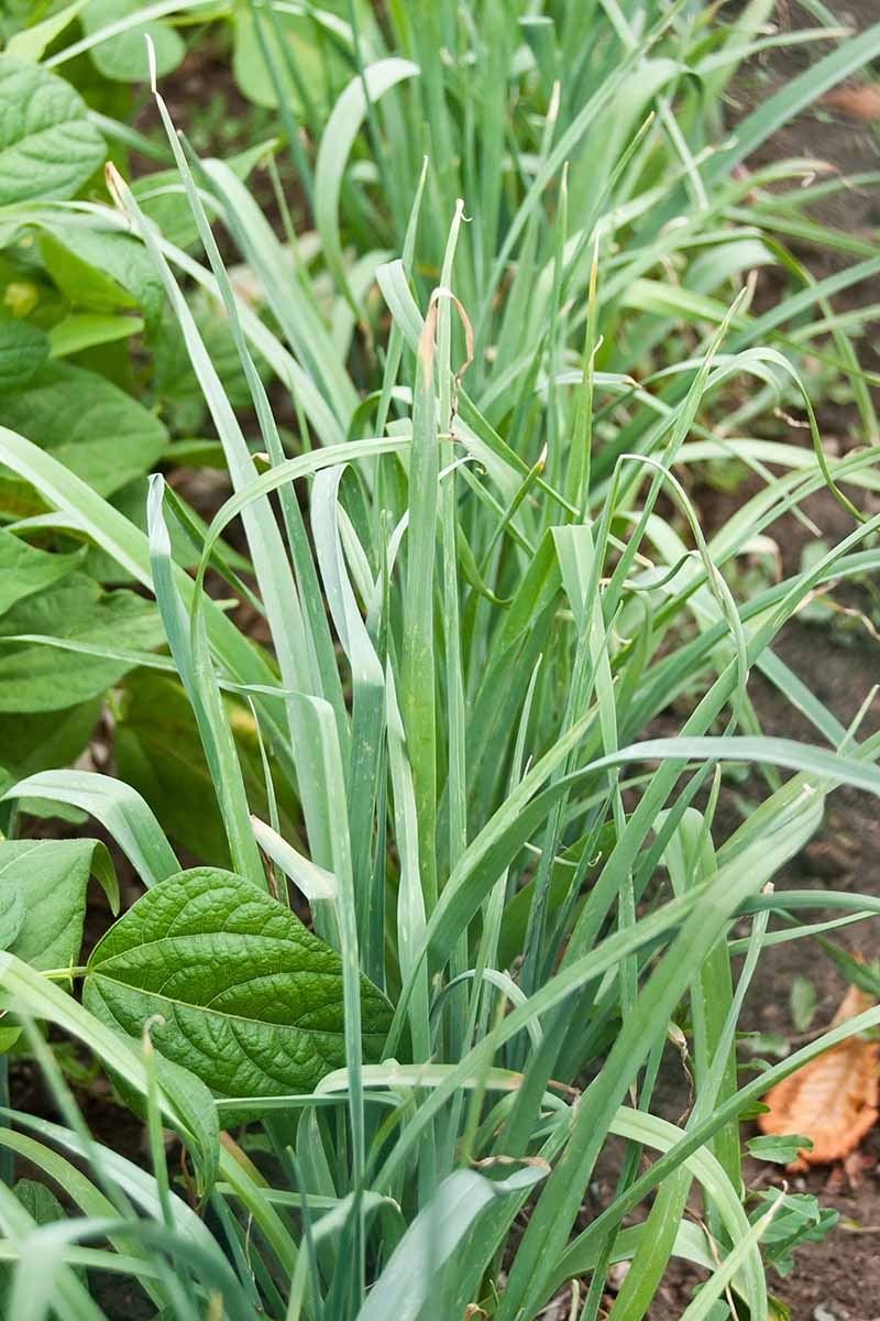 A vertical picture of a row of leek plants growing in the garden with upright green foliage and with other crops to the left of them.