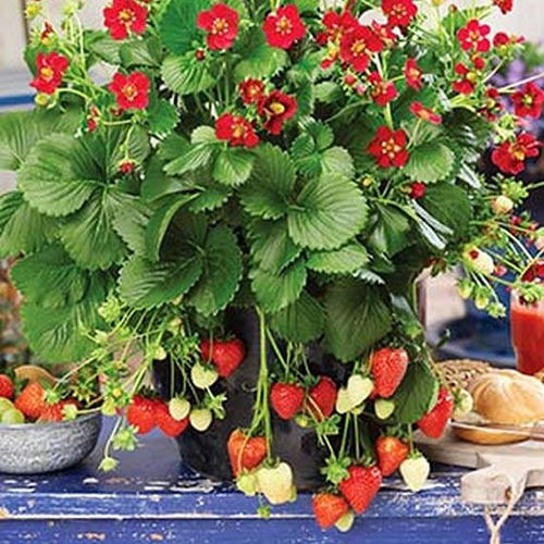 A close up of a black pot, containing a 'Ruby Ann' strawberry cultivar, with bright red flowers, and fruit hanging over the side of the container. The pot is set on a blue wooden surface in the kitchen with bread on a chopping board to the right of the frame.