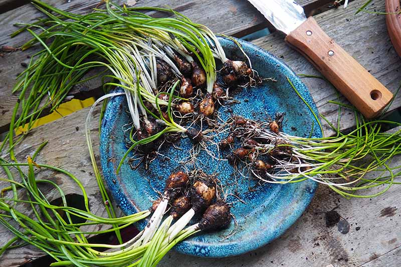 A close up of a blue plate with Muscari bulbs of various sizes separated into three clumps, set on a wooden table with a Japanese garden knife in the background.