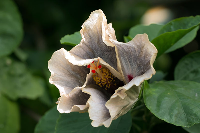 A close up of the flower of the 'Silver Memories' hybrid of H. rosa-sinensis surrounded by foliage on a soft focus background.