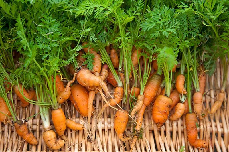 A close up of a collection of small deformed carrot roots in a wicker basket.