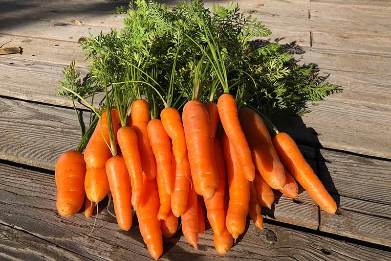 A close up of a fresh harvest of small, straight carrots with the tops still attached set on a wooden surface in light sunshine.