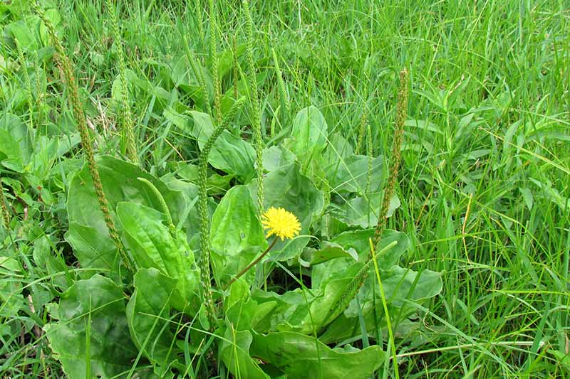 A close up of a weed with a small yellow flower growing amongst overgrown lawn grass.