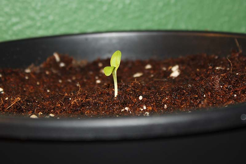 A close up of a seedling in dark, rich moist soil in a black plastic pot, with a green wall in soft focus in the background.
