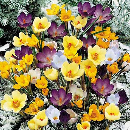 A close up of dark purple, light purple, and yellow flowers growing in a spring garden with a light dusting of snow on the ground.
