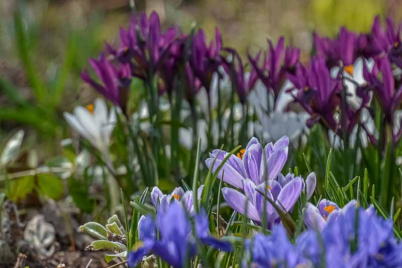 A selection of crocus blooms in light sunshine all in different colors fading to soft focus in the background.