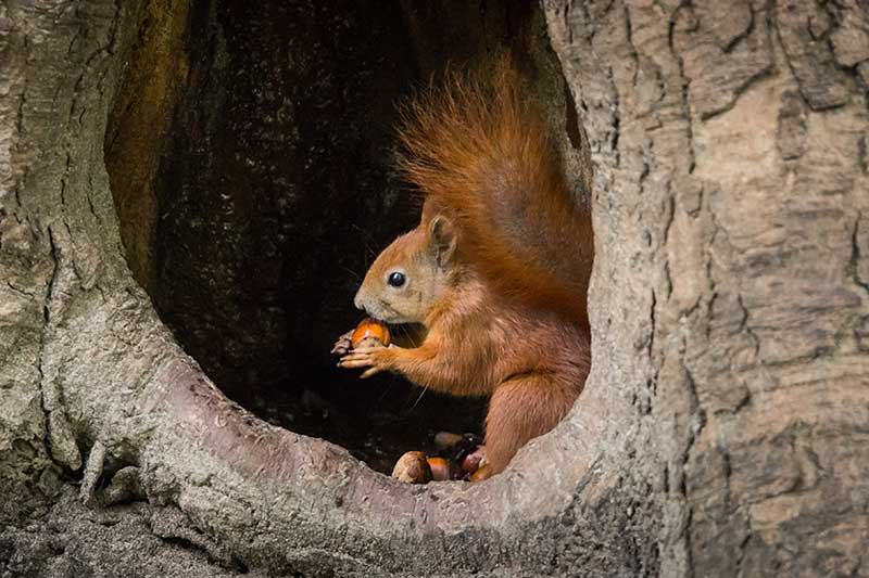 A close up of a squirrel sitting in a hole in the tree eating a nut.