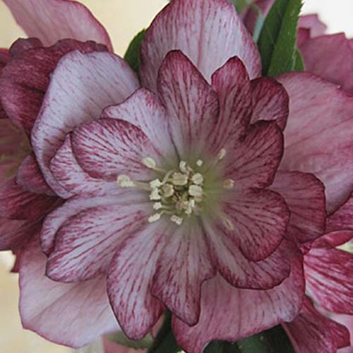 A close up of a flower from the 'Stained Glass' cultivar of Helleborus, showing light pink petals with dark purple veins and edging, on a soft focus background.