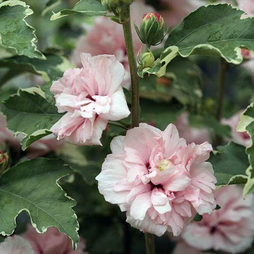 A close up of the pink flowers and variegated foliage of the 'Sugar Tip' H. syriacus variety, on a soft focus background.