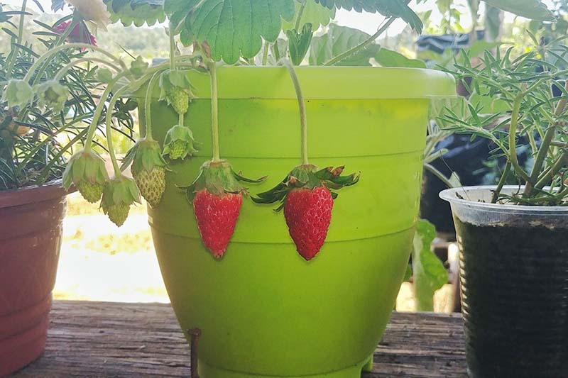 A bright green plastic planting pot containing a 'Sweet Charlie' plant with ripe and unripe strawberries hanging down the side. To the right and left are pots containing different herbs on a bright background.