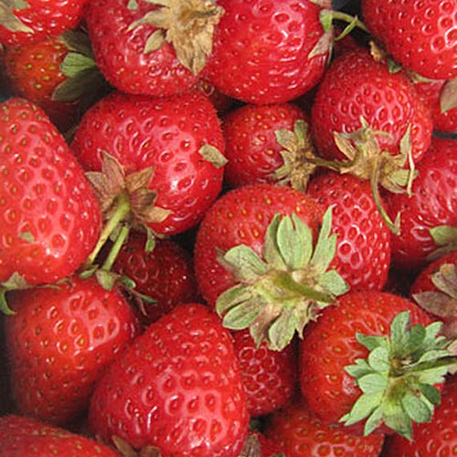 A close up background picture of bright red 'Sweet Charlie' strawberries.