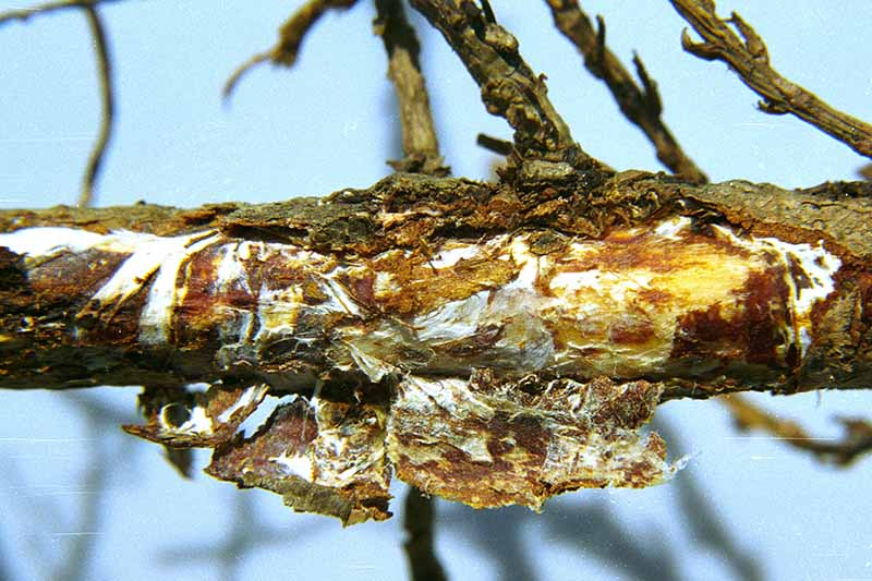 A close up of a tree branch showing characteristic white fungus underneath the bark on a blue soft focus background.