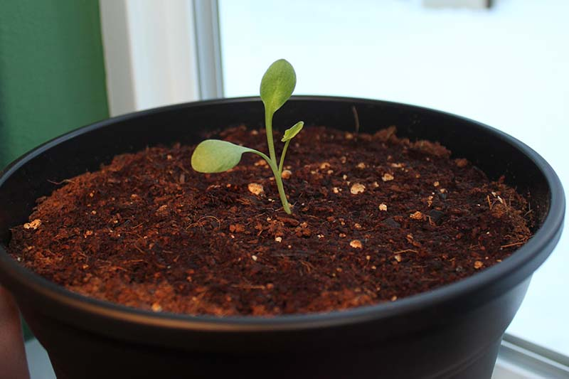 A close up of a black plastic pot set on a windowsill containing a three week old rhubarb seedling, with three leaves, surrounded by dark, rich soil.