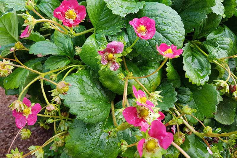 A close up of the 'Toscana' strawberry plant with bright pink flowers set against bright green foliage with water droplets on the leaves.