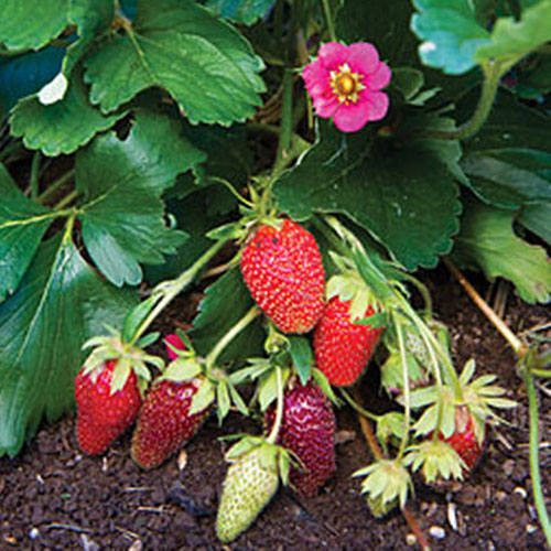 A close up of a 'Tristan' plant with bright green foliage, a small pink flower and ripening strawberries with soil in the background.