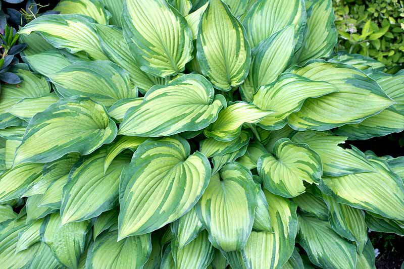 A close up of a hosta plant growing in the garden with bright and dark green variegated leaves.