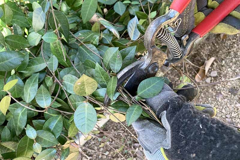 A close up of two hands wearing gardening gloves and holding red pruning shears, cutting a Trachelospermum asiaticum plant growing next to a pathway.