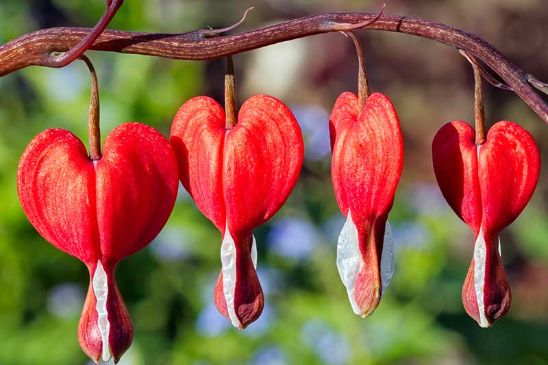 A close up of the bright red flowers, with a soft white tip of the 'Valentine' variety of L. spectabilis. The branch is a dark red color on a green soft focus background.