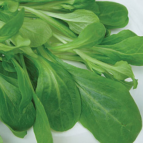 A close up of the leaves of 'Vit Organic' variety of marche set on a white background.