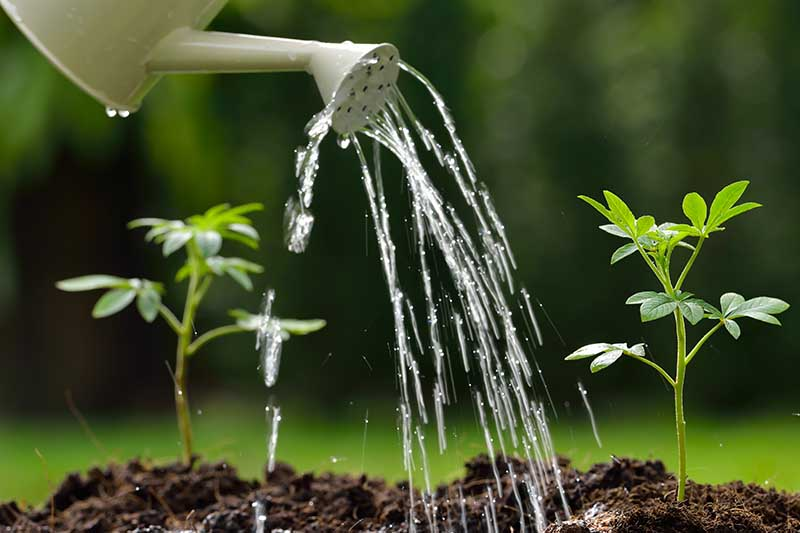 A close up of a white watering can pouring water onto small seedlings planted in dark earth on a soft focus green background.
