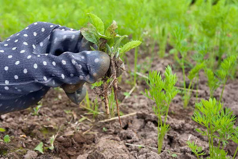 A hand wearing a blue and white spotted gardening glove, from the left of the frame pulls a weed out from a vegetable garden containing carrot seedlings, fading to soft focus in the background.