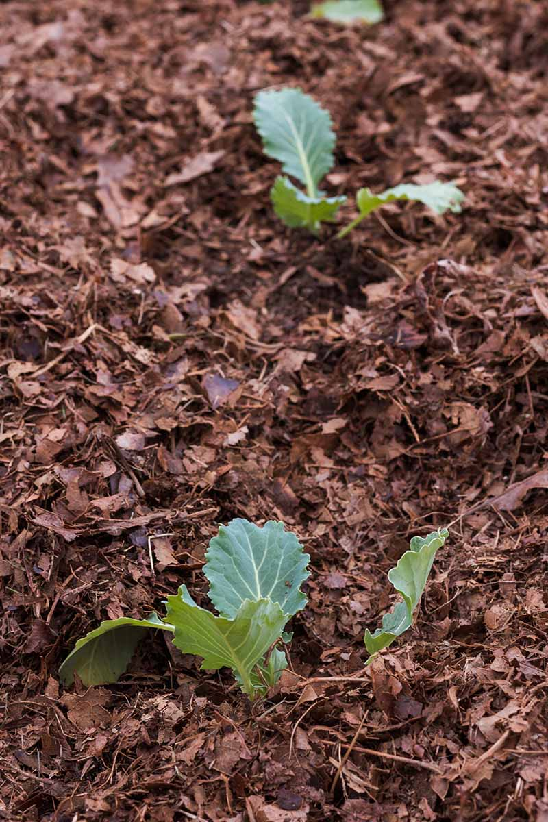 A vertical picture showing the correct spacing of two small cauliflower seedlings, surrounded by dark brown leaf mulch.