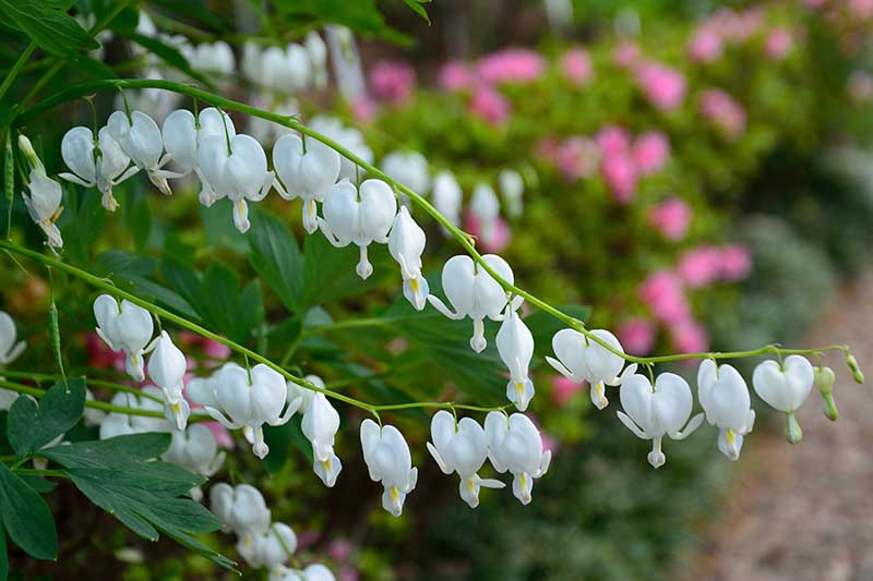 A close up of the beautiful white flowers of the 'Alba' variety of bleeding hearts. Growing from a green stem, on a soft focus background with pink flowers.