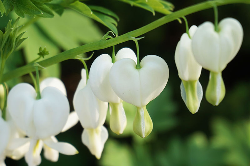 A close up of white 'Alba' flowers with the characteristic tear-drop shape at the bottom, hanging from a green stem, with foliage in soft focus in the background.