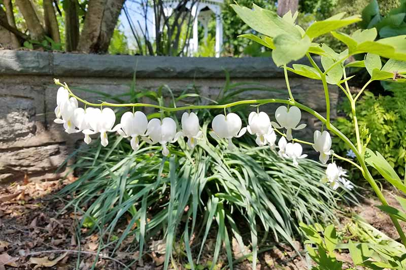 A close up of the white flowers of a cultivar of the bleeding heart, growing in the garden amongst other plantings with a stone wall in the background in light sunshine.