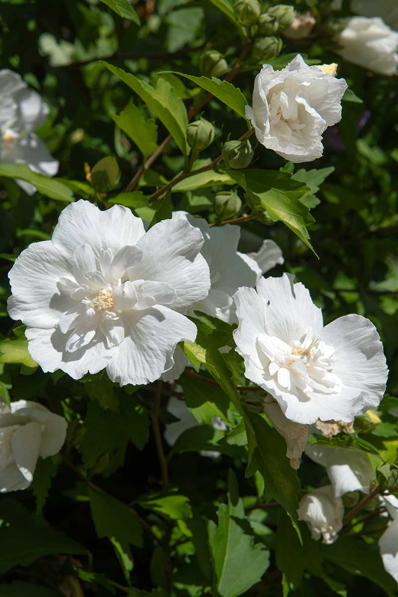 A vertical close up picture of the white flowers with unique double petals of the H. syriacus 'White Chiffon' variety, growing in the garden in bright sunshine fading to soft focus in the background.
