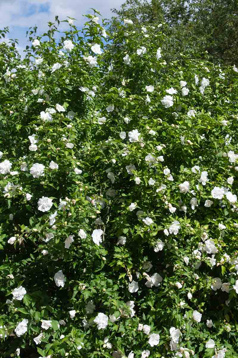 A vertical picture of large H. syriacus 'White Chiffon' bush with green foliage and white flowers growing in the garden in bright sunshine with a blue sky in the background.