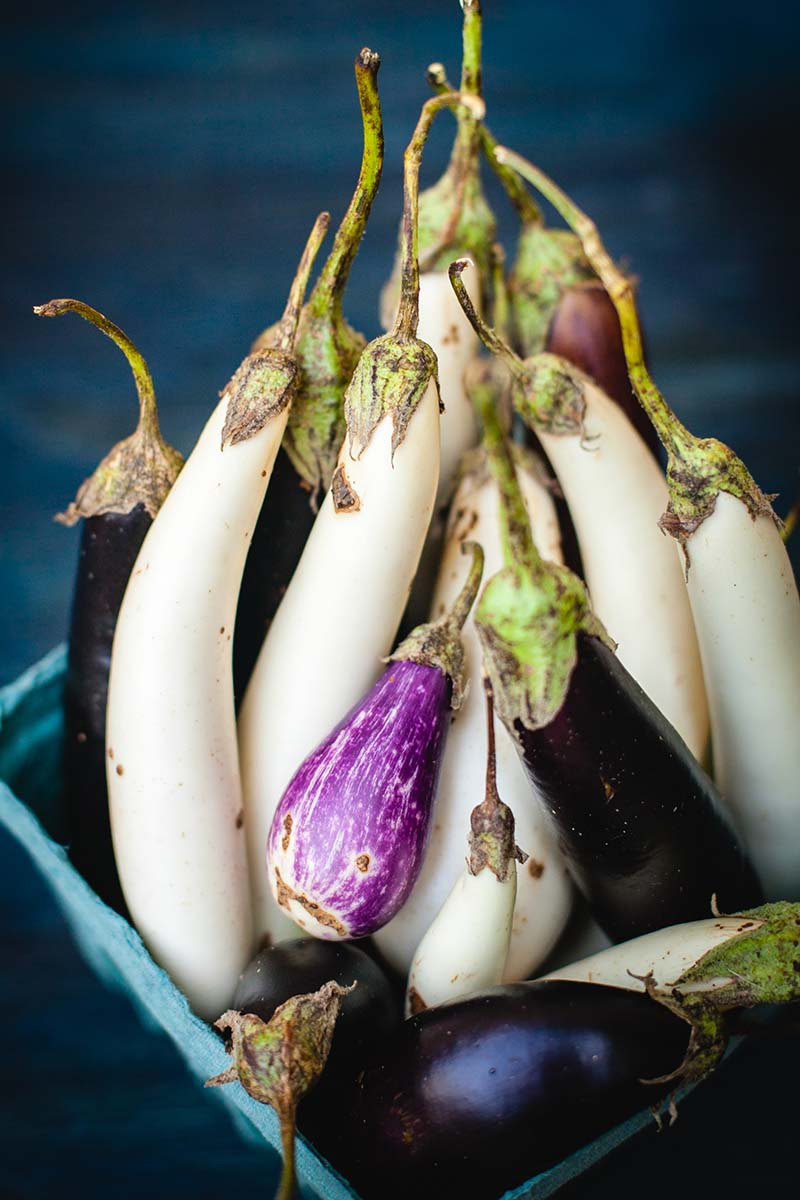 A vertical close up of a blue basket containing white, and various shades of purple eggplants harvested from the garden, on a blue soft focus background.