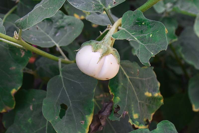 A close up of a small white round aubergine fruit growing in the garden surrounded by dark green foliage fading to soft focus in the background.
